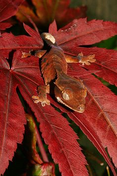 Almost the color of my baby, slightly lighter shade of red.  Autumn crested gecko by AngiWallace.