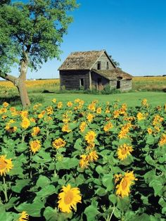 Sunflower Field, Old House, Beausejour, Manitoba, Canada. Photographic Print by Dave Reede Country Barns, Old Barns, Cool Landscapes, Beautiful Landscapes, Landscape Photos, Landscape Photography, House Photography, Creative Landscape, Architectural Photography
