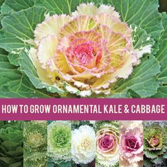 Ornamental kale and cabbage thrive in the cool weather of autumn! Learn how to best care for them.