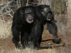 SERIOUSLY ILL : A new U.S. Government Accountability Office report shows unusual details included about the NIH chimps' health and living conditions. It's no secret that as it studied human health, the NIH made its research chimps sick. But the numbers in the report make clear just how widely that happened.