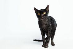 lykoi cat look like werewolves