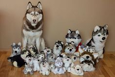 Yuki & Our husky plush collection.
