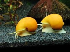 Gold mystery snail/Apple snails in my tank. Always fun to watch them.