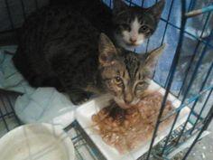 Cuccioli di gatto dolcissimi cercano casa