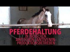 Ausbeutung von Pferden für die Herstellung von Antitoxinen