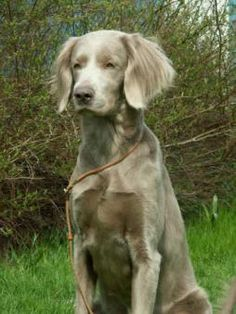 16 Best Weimaraner Long Haired Images