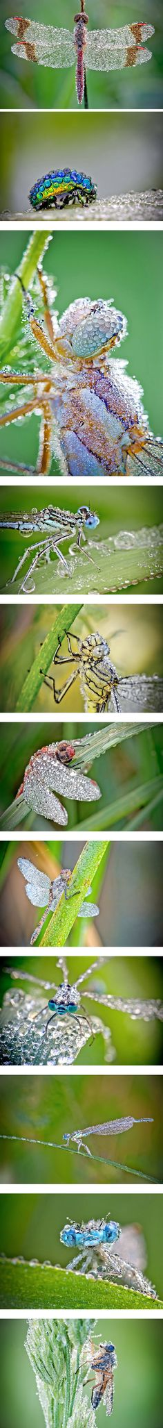 Dew-Covered Macro Insect Photography by David Chambon