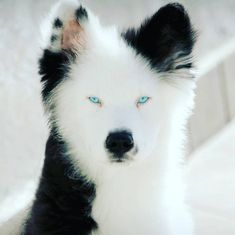 V'yuga 2 Years Old YAKUTIAN LAIKA From #Italy @salomonsangelsofficial _______________________________________ #yakitiandiamonds Cute Puppies, Cute Dogs, Dogs And Puppies, Maltese Dogs, Kittens Cutest, Ragdoll Kittens, Funny Kittens, Bengal Cats, Softies