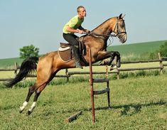 Akhal-Teke stallion Gorez