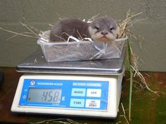 angry baby otter