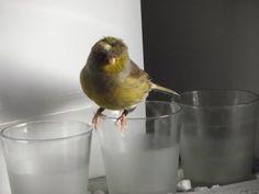 Canary singing at the microwave. Best training video. جزر الخالدات الغناء Śpiew Kanarka - YouTube