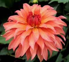 Photo of Dahlia 'Autumn Fairy' uploaded by luvsgrtdanes