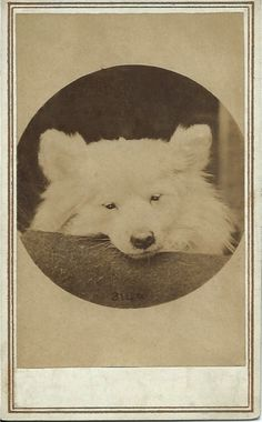 c.1880 albumen cdv of adorable white dog (puppy?). What a face! Photo by Sophus Williams (actually Sophus Vilhelm Schou), a famous German photographer of the 19th century, who worked in Berlin. From bendale collection