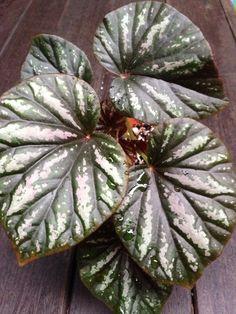 Begonia, by Irene Ngoo