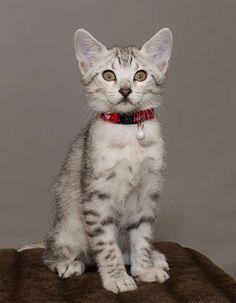 Cute Little Egyptian Mau Kitten