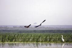 Black Kites by A. Christy Williams