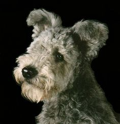 Have you ever seen a cuter guy?  He's a pumi, a Hungarian herding dog.