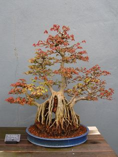 Bonsai maple tree. Incredible. @Shannon Woods