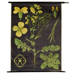 German Educational Poster of a Rapeseed Flower 1