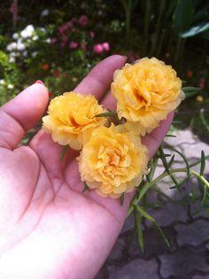 Light Yellow Portulaca : at Nakorn Nayok Province, Thailand
