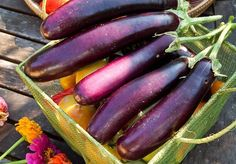 Growing Eggplant: Soil, Planting and care, troubleshooting, harvest and storage - (Ichiban eggplant harvested with tomatoes and zinnia flowers) Growing Eggplant, Eggplant Seeds, Eggplant Plant, Milanesa, Chinese Eggplant, Mosquito Plants, Growing Peppers, Bountiful Harvest, Organic Plants