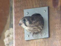 American Kestrel Nest Box Plans
