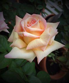 'Peace' | Hybrid Tea rose. Francis Meilland (France, 1935).