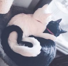 """Ying yang"" . credit: @iizcat . CB Cats compiles the most adorable cats and kittens. Keep an eye on our website [link in the bio] for your daily share of cuteness. . . . Make sure to check out our cat-themed products at www.cmonstore.com"