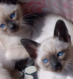 Siamese. - Click image to find more Science & Nature Pinterest pins