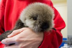 Alaska SeaLife Center Rehabs Baby Otter For New Home at Vancouver Aquarium. See and learn more at ZooBorns: http://www.zooborns.com/zooborns/2013/03/alaska-sealife-center-rehabs-baby-otter-and-it-finds-new-home-.html