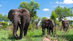 """Kruger National Park is one of the world's most famous safari parks. One of the oldest game reserves in South Africa, the park lies about a to hour drive from Johannesburg and offers visitors the chance to see the """"Big Five"""": lion, …… Kruger National Park, National Parks, Attraction World, Visit South Africa, Wetland Park, Greatest Adventure, Adventure Travel, Vacation Pictures, Africa Travel"""