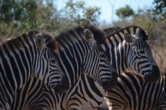 Zebras between Lower Sabie and Crocodile Bridge in the Kruger National Park - South Africa. #zebras #krugerpark