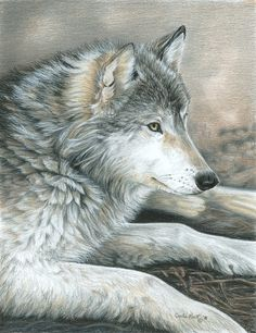 Colored pencil drawing of a wolf - this is magnificent!