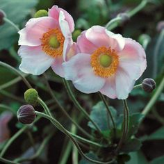 Fall bloomer - Anemone × hybrida 'Richard Ahrens' (Japanese anemone) - Anemones thrive in light to partial shade but will tolerate full sun, as long as there is sufficient moisture