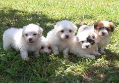 The Coton de Tulear was first formally recognised as a breed by the Societe Centrale Canine (the French national kennel club) in 1970,[10] and was accepted by the Fédération Cynologique Internationale, which published the breed standard in 1972.