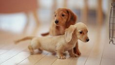 light brown and blonde dachshund puppies.