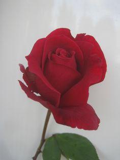 Mr Lincoln rose