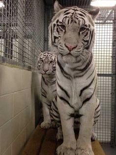 White Tigers Stuck In Aquarium Haven't Felt The Sun In 12 Years I Love Cats, Big Cats, Pet Tiger, Tiger Cubs, Bengal Tiger, Bear Cubs, Grizzly Bears, Black Jaguar, Aquarium