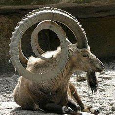 Os animais com os chifres mais legais do mundo,o ibex, um caprino das montanhas de Israel