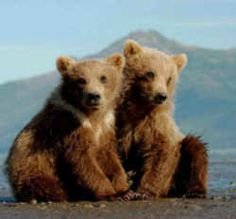 State Symbol: Montana State Animal: Grizzly Bear