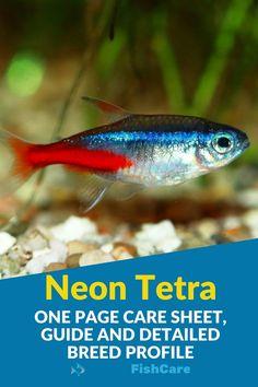 Neon Tetra Fish, Home Aquarium, Fish Care, Fish Tanks, Freshwater Fish, Betta Fish, Tropical Fish, Fresh Water, Profile