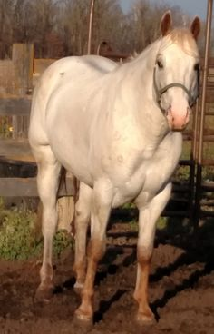 Appaloosa Stallion at Stud from the Johnson Show Horses: MAID SHARP. Maid Sharp has a pedigree full of Champions in the Appaloosa world.  He has points in halter and qualified for the Appaloosa World Show with limited showing. View full ad here: http://myhorseforsale.com/horses-for-sale/details/?hid=18693 .