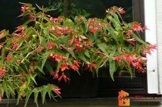 Jak pěstovat bolivijské begonie. Begonia Boliviensis Aloe Vera, Plants, Begonia, Plant, Planets