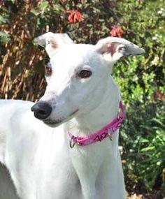 GreySave Greyhound Adoption of California