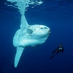 Sunfish - Bizarre and beautiful are not always mutually excluding things.
