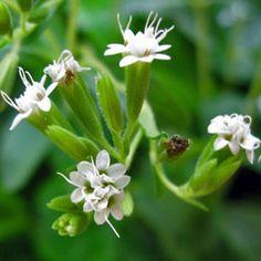image Stevia, Safari, Health, Plants, Image, Health Care, Plant, Planets, Salud