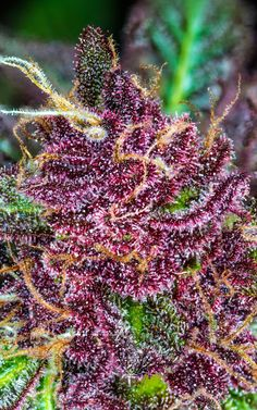 The Purple Trichomes of the Oregon Breeders Group | High Times