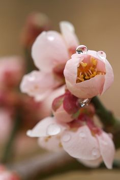 Japanese plum with raindrops | Flickr - Photo Sharing!