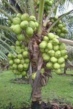 Best 12 Coconut Tree Loaded With Fruits – Page 678917712554278239 – SkillOfKing. Dwarf Fruit Trees, Fruit Plants, Fruit Garden, Fruit And Veg, Fruits And Veggies, Fresh Fruit, Vegetables, Healthy Fruits, Fruit Bearing Trees
