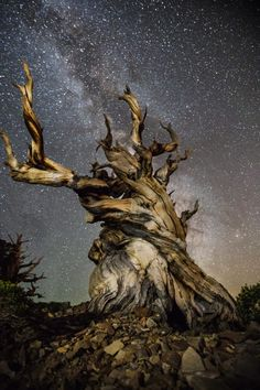 Photos of Ancient Trees Against Starry Skies Atlas. Beth Moon's new photography book, Ancient Trees Ancient Skies. Beth Moon's new photography book, Ancient Trees Ancient Skies. Art Science Museum, Bristlecone Pine, Louisiana Art, Baobab Tree, Unique Trees, Cleveland Museum Of Art, Old Trees, Tree Photography, World Pictures
